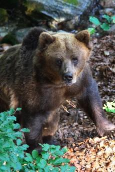 orso bruno_sito