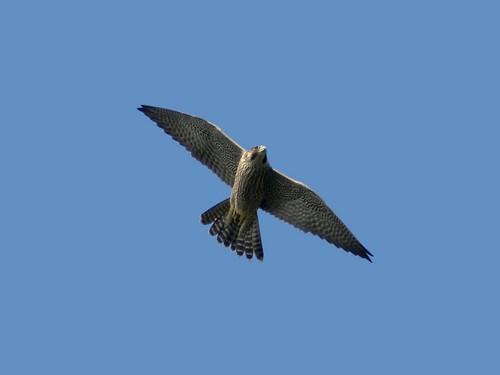 Un falco pellegrino in volo sui Colli Euganei