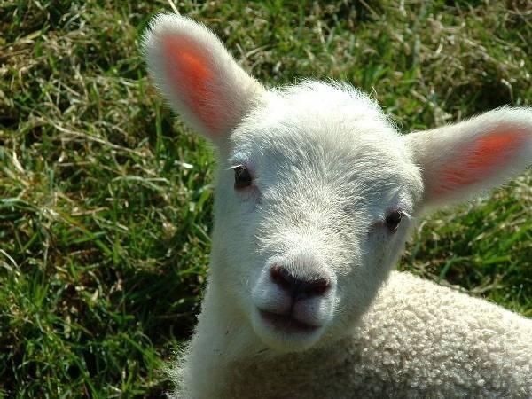 lamb600