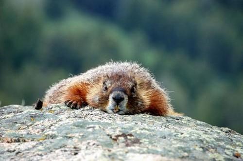 Una marmotta in Lessinia