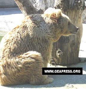 L'orsa Alice (foto Geapress)