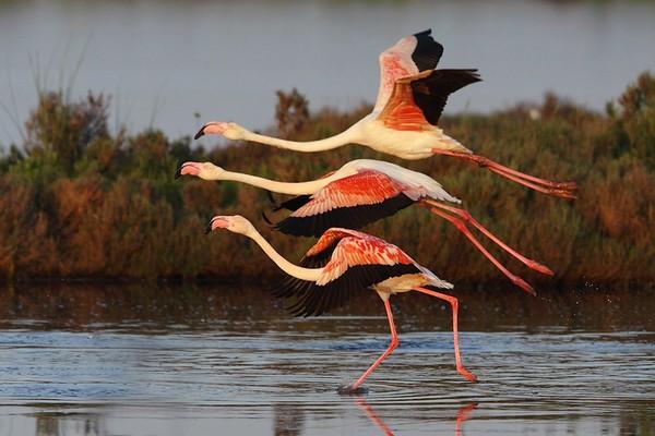Fenicotteri rosa sul Delta del Po