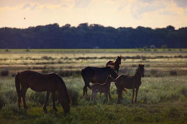 Romania, Danube Delta, Letea forest, wild horses