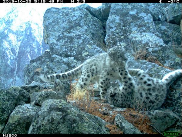 leopardo_nevi2