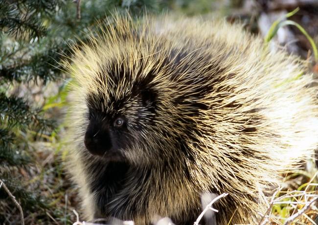 Porcupine_NPS11952