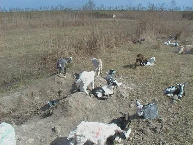 L'asilo dei capretti