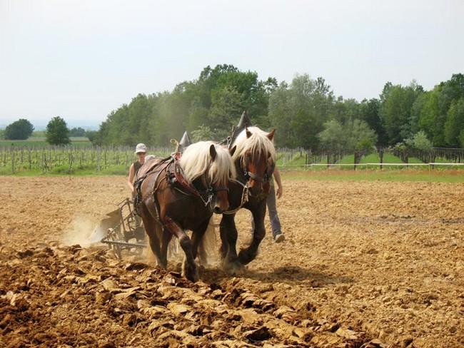 Cavalli al lavoro