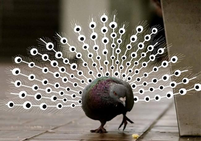 Il piccione pavone