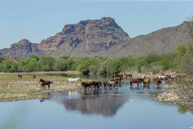 Salt-River-Wild-Horses