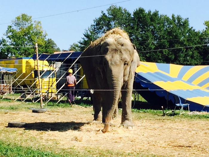 Elefante circo Nelly Orfey