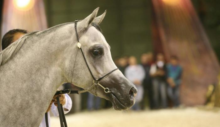 cavallo_arabo