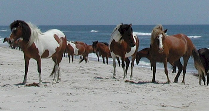 Assateague-Wild-Horses