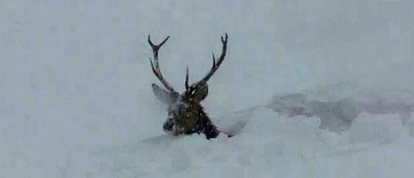 cervo-neve1