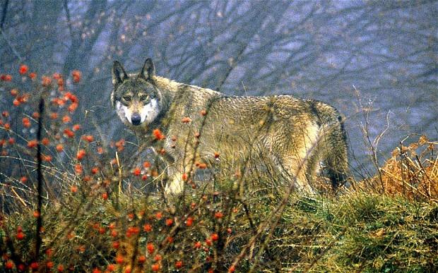 wolf_2791011b