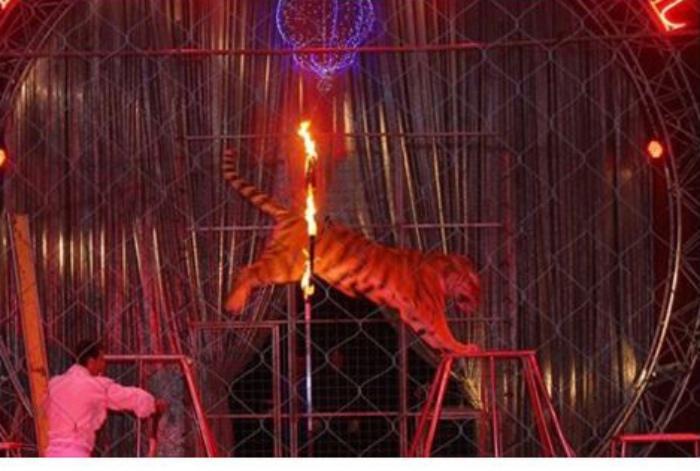 tigre-in-cerchio-di-fuoco