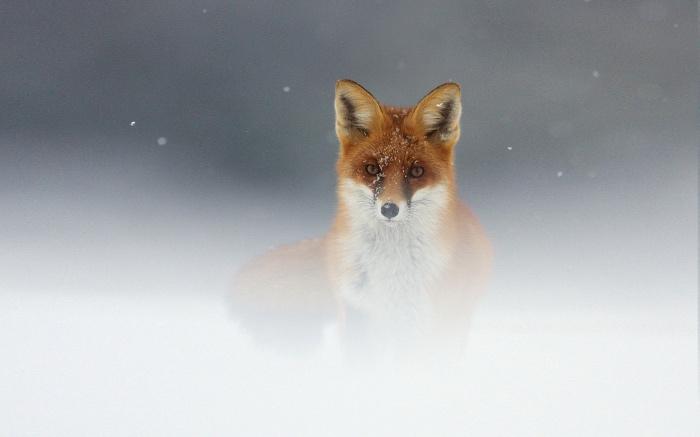 fox_snow_fog_muzzle_52909_1920x1200_fotor