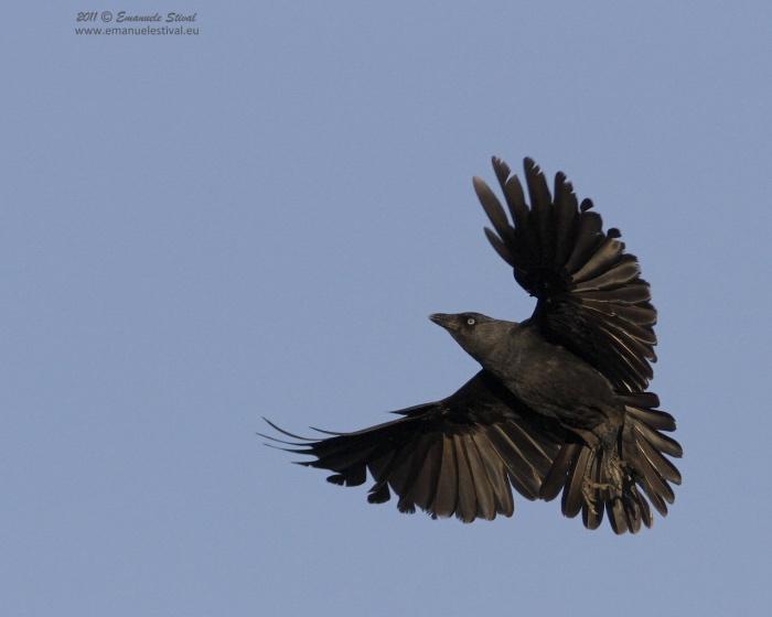 Taccola in volo (foto di Emanuele Stival)