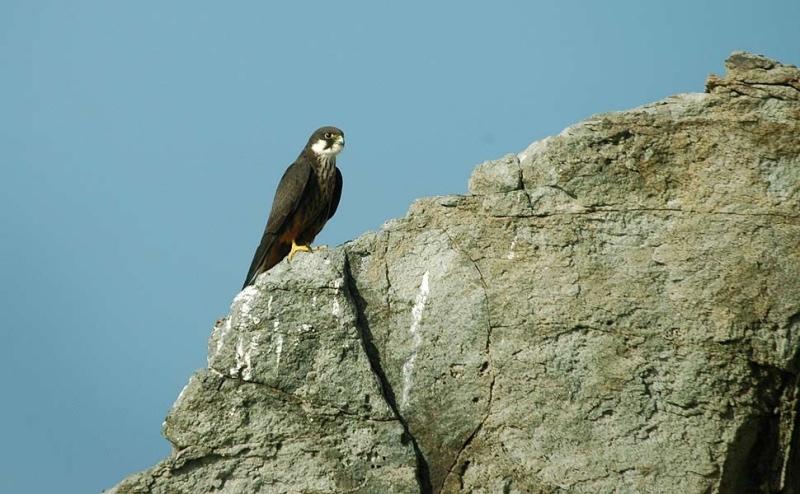 Falco della regina all'Oasi di Carloforte in Sardegna