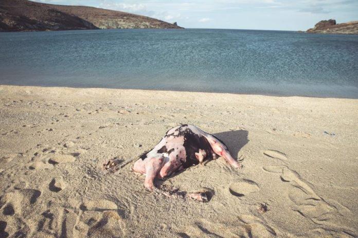 Una carcassa sulla spiaggia di Tinos