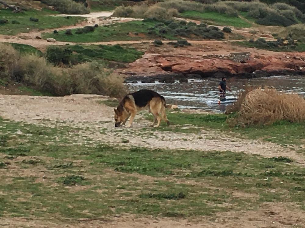 Il pastore tedesco che vive in spiaggia a Kavouri
