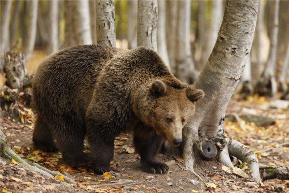 Mantenere un orso in un rifugio costa fino a 15mila euro all'anno